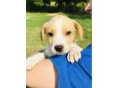 Adopt Pisces a Tan/Yellow/Fawn - with White Catahoula Leopard Dog / Labrador