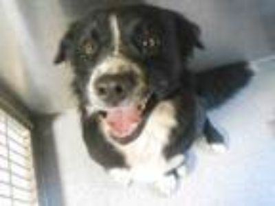 Adopt SAM a Border Collie, Mixed Breed