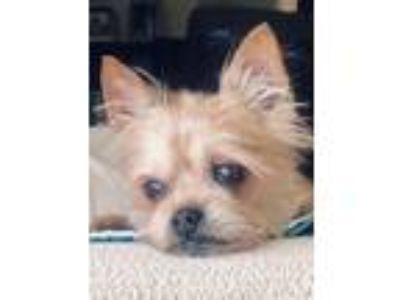 Adopt Shaunessy a Cairn Terrier, Yorkshire Terrier