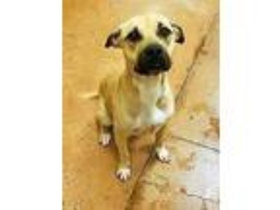Adopt Olive a Tan/Yellow/Fawn Black Mouth Cur / Shepherd (Unknown Type) / Mixed