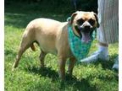 Adopt Abbie a Brown/Chocolate Pug / Beagle / Mixed dog in Hendersonville