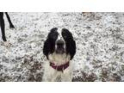 Adopt Elvis a English Springer Spaniel