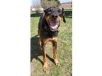 Adopt Dave a Black - with Brown, Red, Golden, Orange or Chestnut Doberman