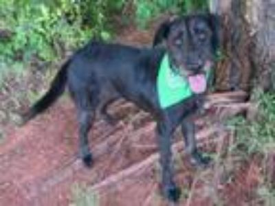 Adopt MEGHAN a Giant Schnauzer, Mixed Breed