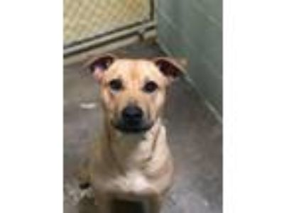 Adopt Hayley a Labrador Retriever