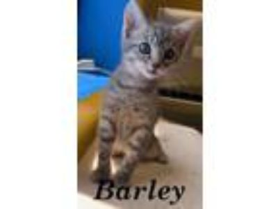 Adopt BARLEY a Domestic Short Hair, Tabby