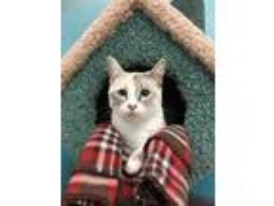 Adopt Katie a Cream or Ivory Siamese / Domestic Shorthair / Mixed cat in