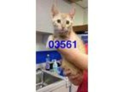 Adopt ERNIE a Orange or Red Domestic Shorthair / Domestic Shorthair / Mixed cat