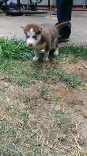 Siberian Husky PUPPY FOR SALE ADN-93346 - Husky Puppies