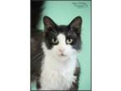 Adopt Trendy Tuxedo Cats a Domestic Short Hair, Domestic Long Hair