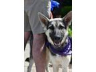 Adopt Joy a German Shepherd Dog