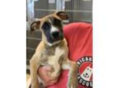 Adopt Sputnik a Tan/Yellow/Fawn Boxer / Mixed dog in Chicago, IL (25883438)