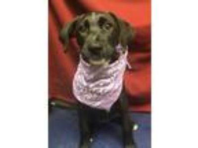 Adopt Aussie/Lab mix pups coming 7-20 a Labrador Retriever / Australian Shepherd