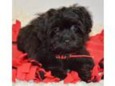Yorkie Poo Male Puppy