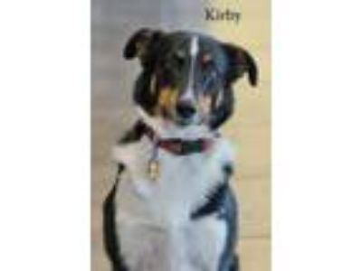 Adopt Kirby a Australian Cattle Dog / Blue Heeler
