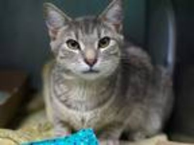 Adopt Raysa a Domestic Shorthair / Mixed cat in Brooklyn, NY (25875168)
