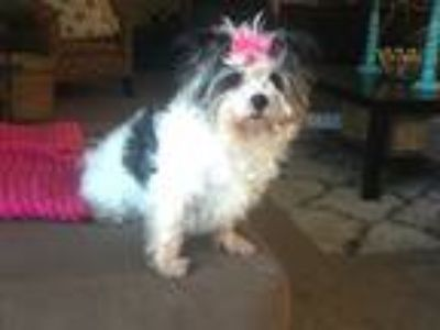 Adopt Patches a White - with Black Shih Tzu / Terrier (Unknown Type