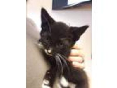 Adopt Kale Dice a All Black Domestic Shorthair / Domestic Shorthair / Mixed cat