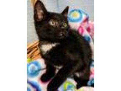 Adopt Nick a All Black Domestic Shorthair / Domestic Shorthair / Mixed cat in