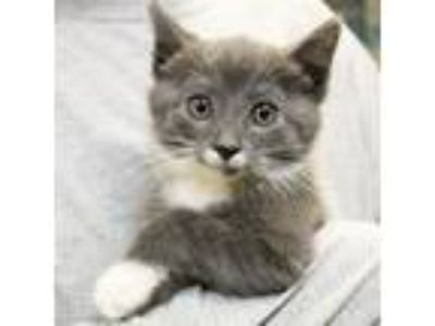 Adopt Pepsi a Gray or Blue Domestic Shorthair / Domestic Shorthair / Mixed cat