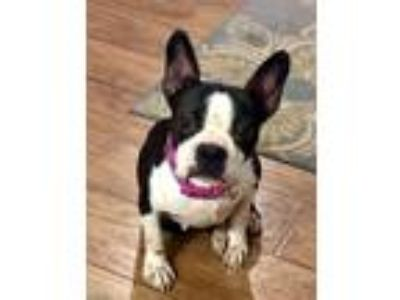 Adopt Morgan a Black - with White Boston Terrier / Mixed dog in Irving