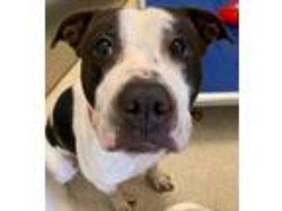 Adopt Twist a American Staffordshire Terrier / Mixed dog in Grand Rapids
