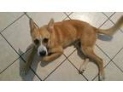 Adopt a Brown/Chocolate - with White Husky / Mixed dog in Houston, TX (25556098)
