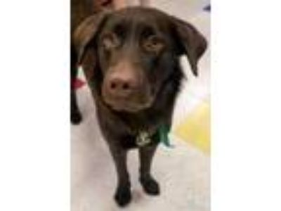 Adopt Simon a Chocolate Labrador Retriever