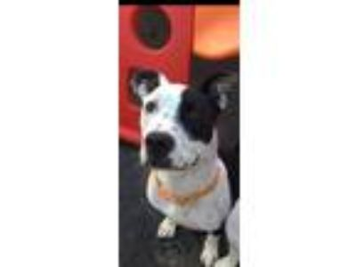 Adopt Dottie a Black - with White Labrador Retriever / American Pit Bull Terrier
