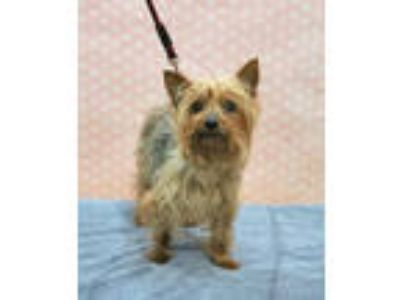 Adopt Puddles a Yorkshire Terrier