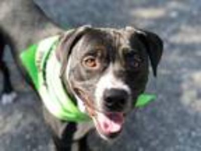 Adopt *Oreo a Black - with White Pit Bull Terrier / Mixed dog in Woodland