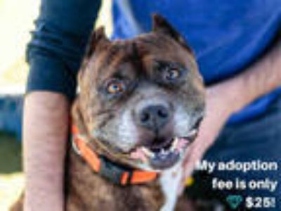 Adopt TOBY a Brindle American Pit Bull Terrier / Mixed dog in Martinez