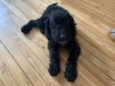 Adopt Scooter a Black Labrador Retriever / Poodle (Miniature) dog in Manhattan
