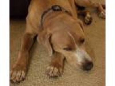 Adopt Loki a Red/Golden/Orange/Chestnut Black Mouth Cur / Labrador Retriever /
