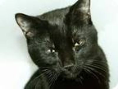 Adopt Bengal a Black (Mostly) Domestic Shorthair (short coat) cat in New York