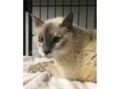 Adopt Bianca a Gray or Blue Domestic Longhair / Domestic Shorthair / Mixed cat