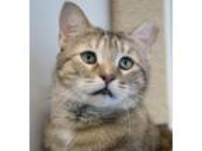 Adopt Sammie a Tortoiseshell Abyssinian (short coat) cat in Chicago