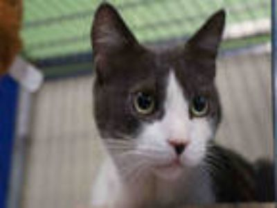 Adopt KOBE a Gray or Blue (Mostly) Domestic Shorthair / Mixed (short coat) cat