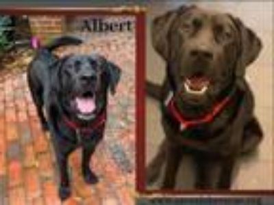 Adopt Albert a Labrador Retriever, Black Labrador Retriever