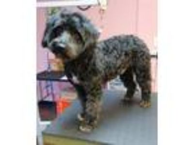 Adopt Cheech a Black - with White Poodle (Miniature) / Standard Schnauzer /