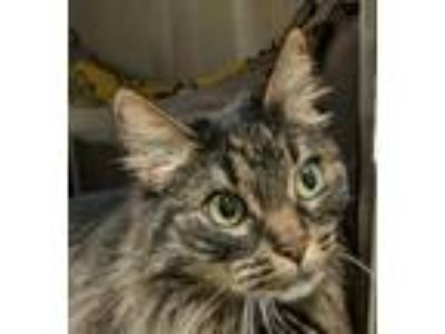 Adopt Eloise a Brown or Chocolate Domestic Longhair / Domestic Shorthair / Mixed