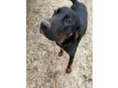 Adopt Guiness a Black - with Gray or Silver Coonhound / Labrador Retriever /