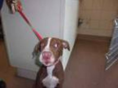 Adopt 42195353 a Brown/Chocolate Retriever (Unknown Type) / Mixed dog in