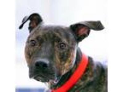 Adopt Connor a Pit Bull Terrier, Mixed Breed
