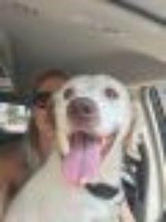 Henry Golding Labrador Retriever - Spaniel Dog