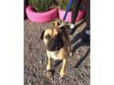 Adopt Brody a Tan/Yellow/Fawn - with Black Mixed Breed (Medium) / Mixed dog in