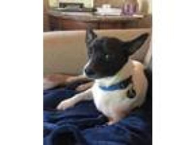 Adopt Biscuit a Jack Russell Terrier