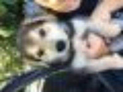 OH LOUIE Shepherd - Husky Dog