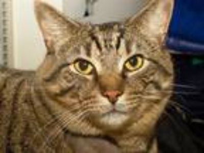 Adopt BEXLEY a Brown Tabby Domestic Shorthair / Mixed (short coat) cat in