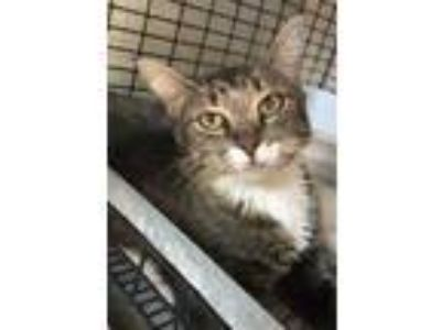 Adopt Wesa a Gray or Blue American Bobtail / Domestic Shorthair / Mixed cat in